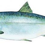 Ikan Salmon Memiliki Karakter Yang Unik Dengan Menghabiskan Hidupnya Untuk Berimigrasi